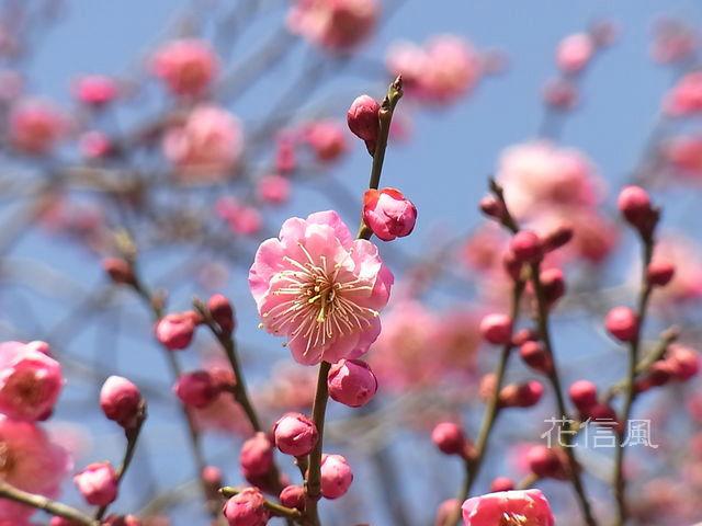 別名 梅 の 花