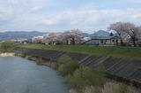 2010sakura0047