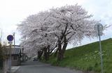 2010sakura0030