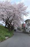 2010sakura0032