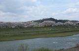 2010sakura0037