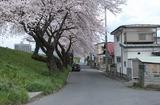 2010sakura0031