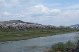 2010sakura0044