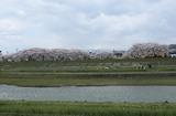 2010sakura0034