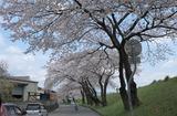2010sakura0053