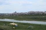 2010sakura0033