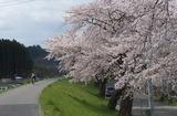 2010sakura0051