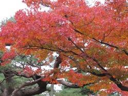 紅葉 兼六園