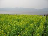 池田湖と菜の花