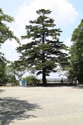 霧島神宮 もみの木