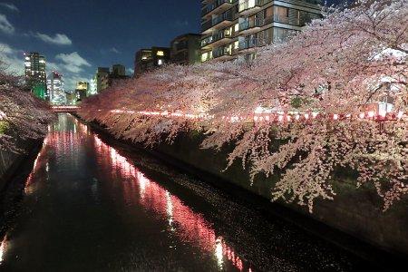 桜:目黒川