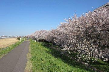 桜:多摩川