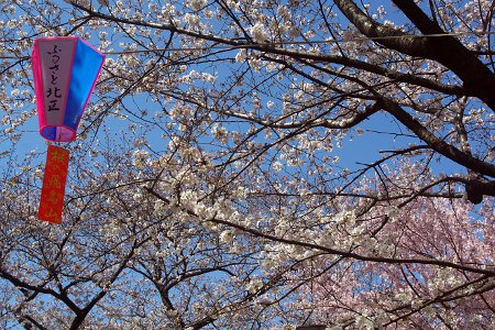桜:飛鳥山