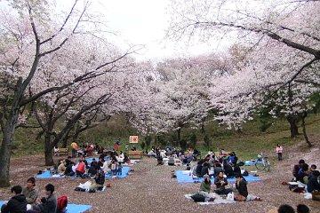 桜:三ツ池公園