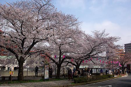 桜:大岡川