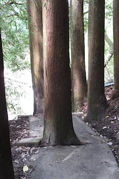 遊歩道の木