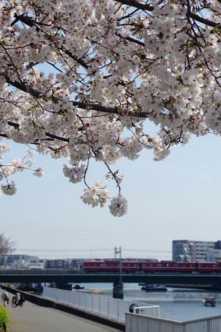 桜:鶴見川