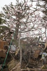 21 佐藤さん宅 庭に桜