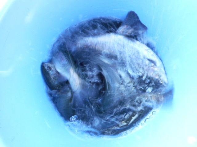 今日の魚 (1)
