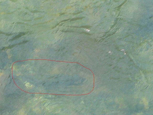 大型鱒 (1)