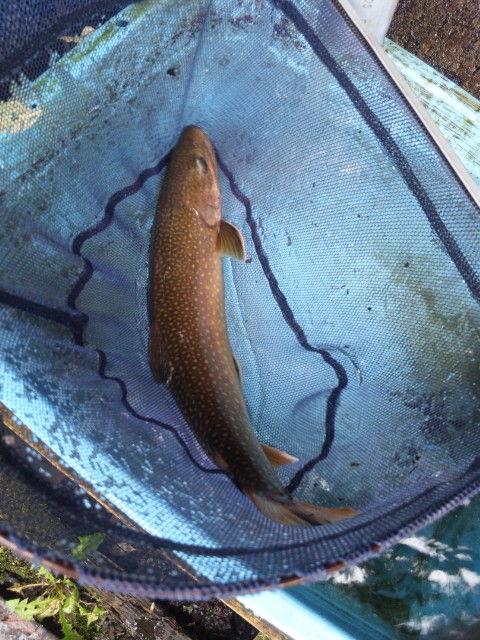 40cm岩魚