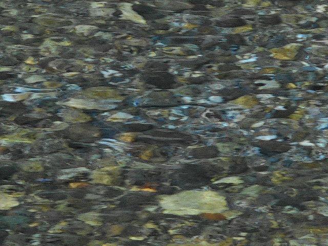 産卵床の山女魚