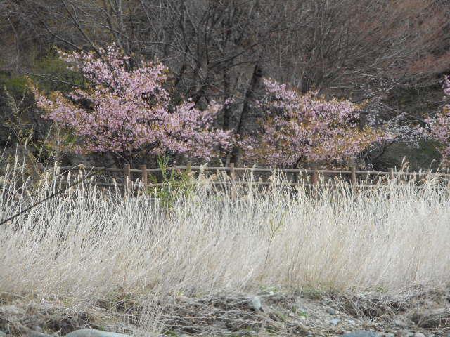 上塩原の桜