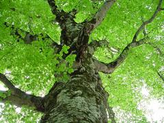 津軽峠のマザーツリー