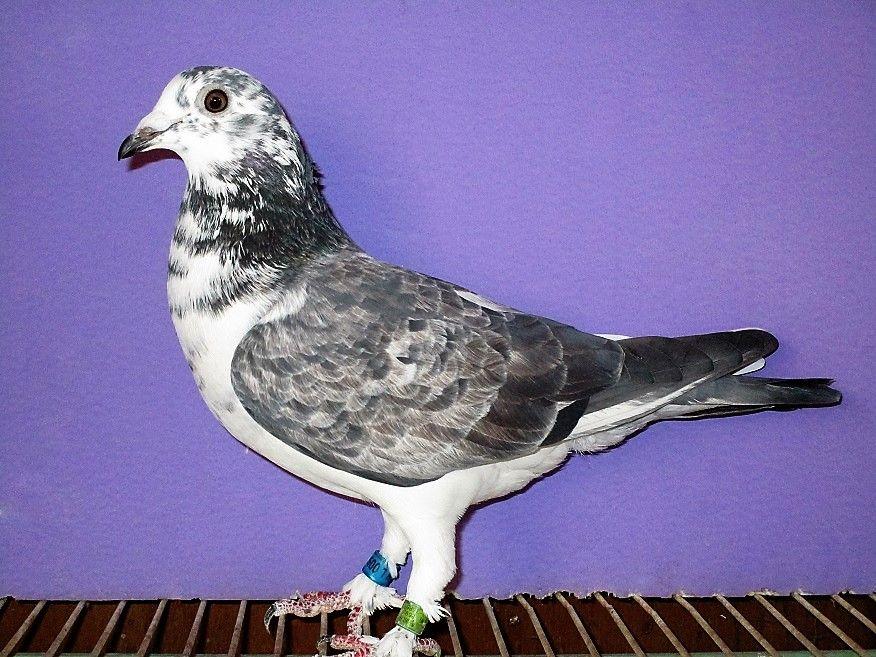 オークション レース 鳩