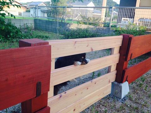 柵から覗く犬