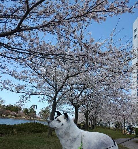 らん丸と桜  その2