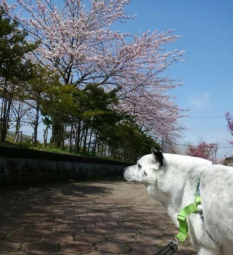 らん丸と桜