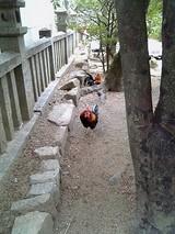 忌宮神社の鶏