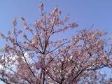 桜開花@親水公園