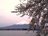 富士山と桜@河口湖