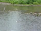 鴨川の水鳥たち