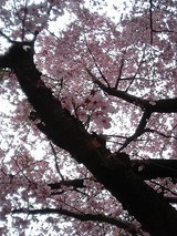 桜満開@靖国神社