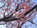桜@親水公園