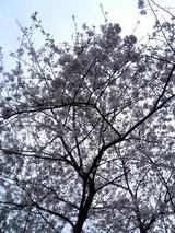 桜満開@茅ヶ崎某所