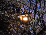 夜桜@靖国神社