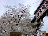 伝法院の満開桜