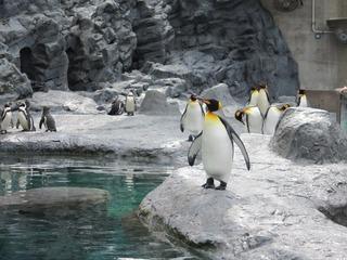 キングペンギン@旭山動物園