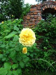 上野ファームのバラ