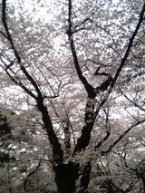 満開桜@靖国神社