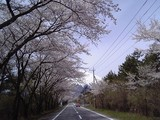 桜並木と富士山@富士スカイライン