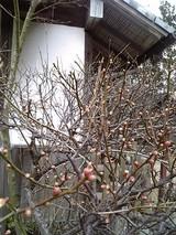 乃木神社の梅