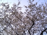 有楽町線市ヶ谷駅出口の桜