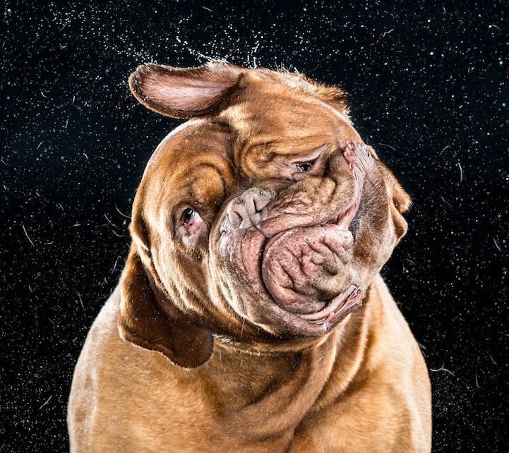 shakecarlidavidson02 爆笑必至!顔をぶるぶるとシェイクするイヌを高速撮...