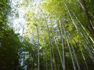 竹やぶ〜モウソウチク
