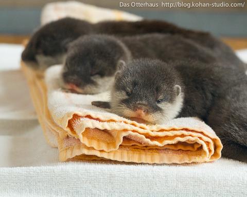 3匹でお昼寝中のカワウソの赤ちゃん